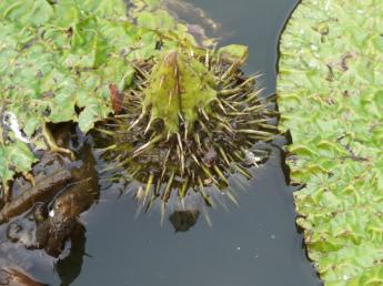 蟹喰池的带刺睡莲(也称作芡(qian))