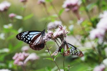 泽兰和青斑蝶