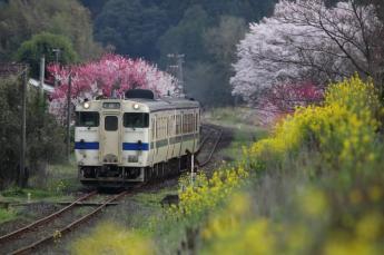 樱花与油菜花盛开的田园风景